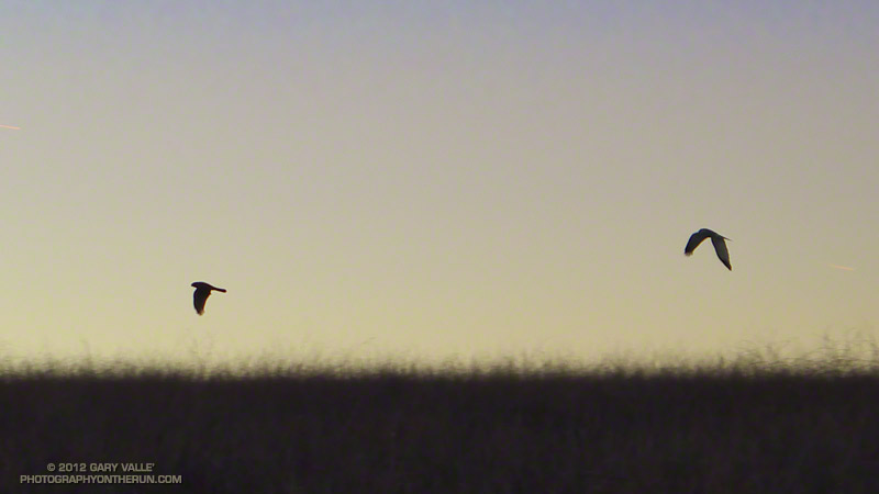 A pair of northern harriers hunting at dusk in the grassland of Lasky Mesa in Upper Las Virgenes Canyon Open Space Preserve (Ahmanson Ranch).