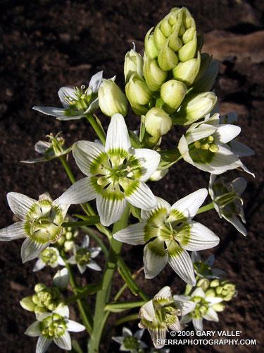Star Lily (Zigadenus fremontii) at Sage Ranch.