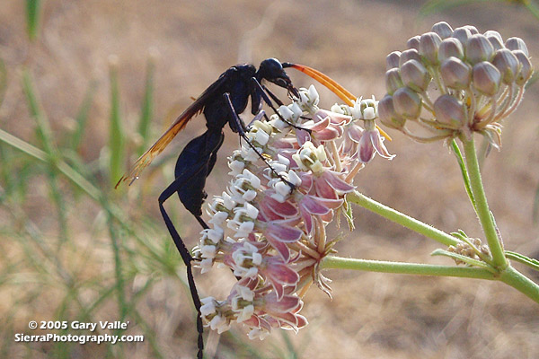 Tarantula Hawk on narrow-leaf milkweed (Asclepias fascicularis Dcne.)