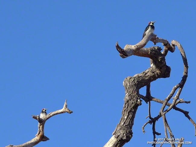 Acorn Woodpeckers at Ahmanson Ranch