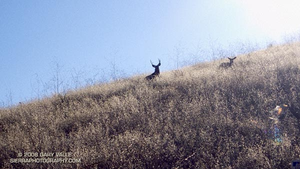 Large buck with a doe in Upper Las Virgenes Canyon Open Space Preserve (formerly Ahmanson Ranch).