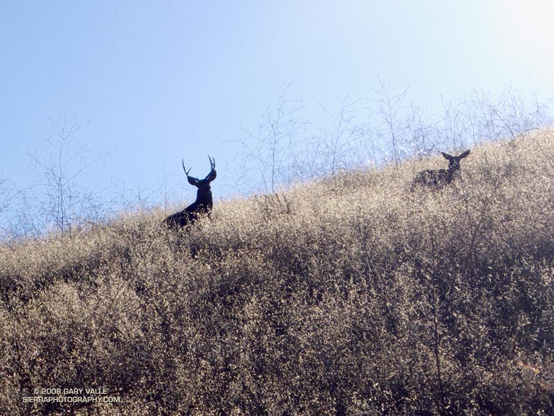 Zoomed view of a large buck with a doe in Upper Las Virgenes Canyon Open Space Preserve (formerly Ahmanson Ranch). September 24, 2008.