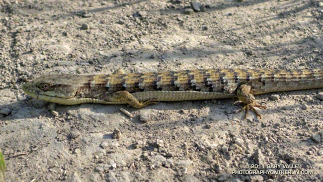 alligator lizard (Elgaria multicarinata)