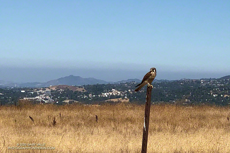 American kestrel on Lasky Mesa in Upper Las Virgenes Canyon Open Space Preserve (Ahmanson Ranch)