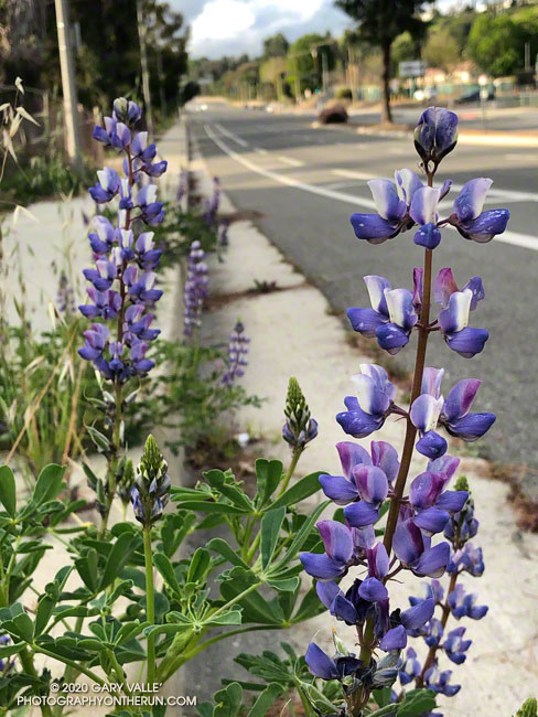 Arroyo lupine (Lupinus succulentus) blooming along Valley Circle Blvd. in the West San Fernando Valley.