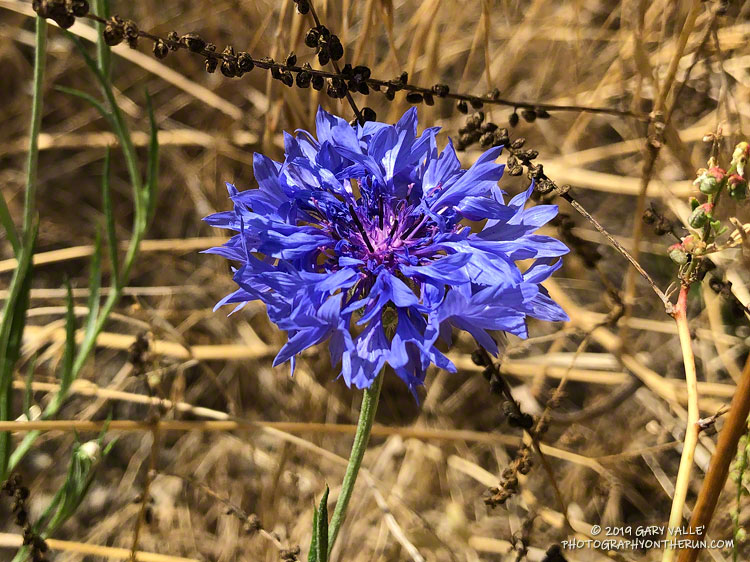Bachelor's button (Centaurea cyanus), a non-native garden plant. It was found along East Las Virgenes Creek, on the Lasky Mesa Trail. July 9, 2019.