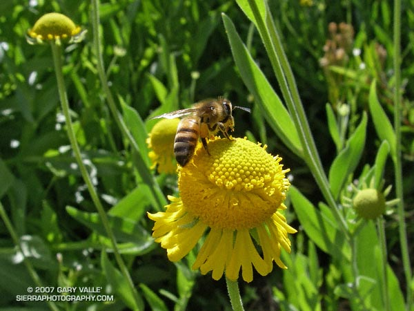 A bee forages on Bigelow's sneezeweed (Helenium bigelovii) at Little Jimmy Spring in the San Gabriel Mountians.