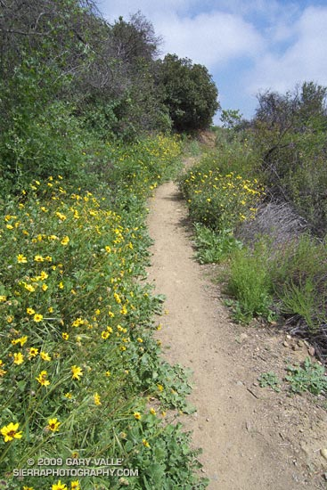 Encelia Along the Bent Arrow Trail