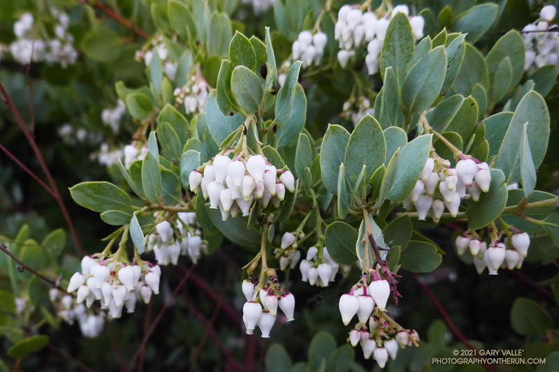 Bigberry manzanita (Arctostaphylos glauca) at the bottom of Topanga Lookout Ridge, near the junction of Calabasas Peak Mtwy fire road and Red Rock fire road. January 31, 2021.