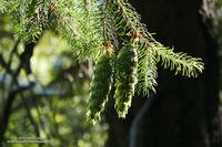 Bright green Bigcone Douglas fir cones