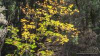 Bigleaf maple along the Mine Gulch Trail.