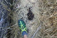 Black bear scat along the Bear Canyon Trail.