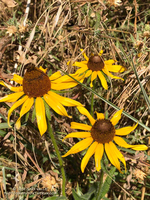 Non-native black-eyed Susan (Rudbeckia hirta) at Upper Las Virgenes Canyon Open Space Preserve (formerly Ahmanson Ranch)