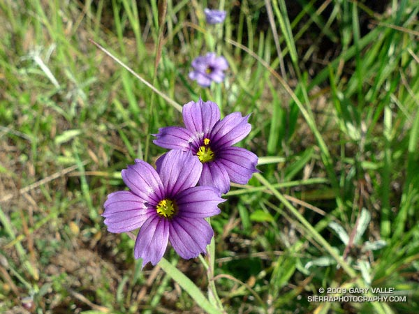 Blue-eyed grass along the Bobcat Trail in the Marin Headlands.