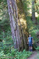 Large Douglas-fir along the Lost Trail in Windy Hill Open Space Preserve
