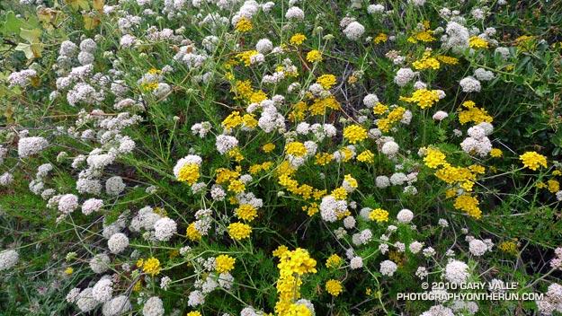 Buckwheat and Golden Yarrow