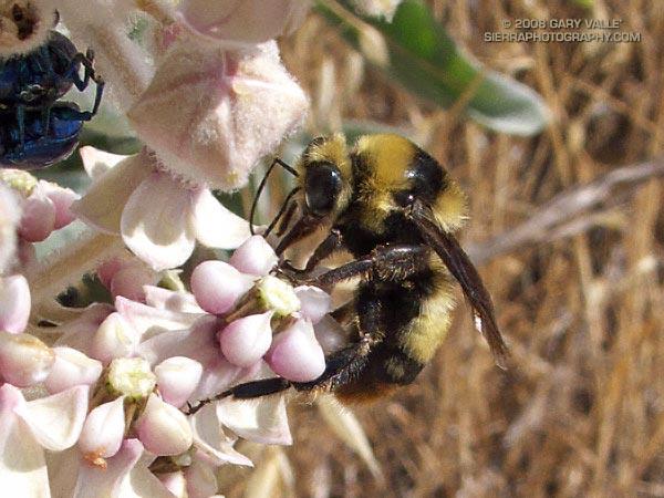 Bumblebee on Kotolo milkweed (Asclepias eriocarpa).