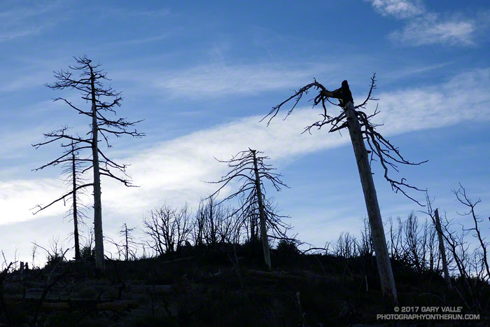 Trees along the Mt. Waterman & Twin Peaks Trail, burned in the 2009 Station Fire.