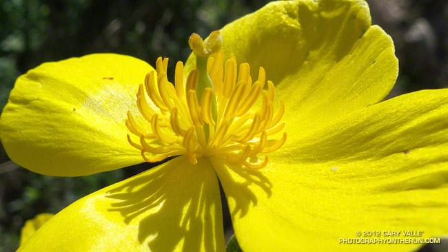 Bush poppy (Dendromecon rigida)