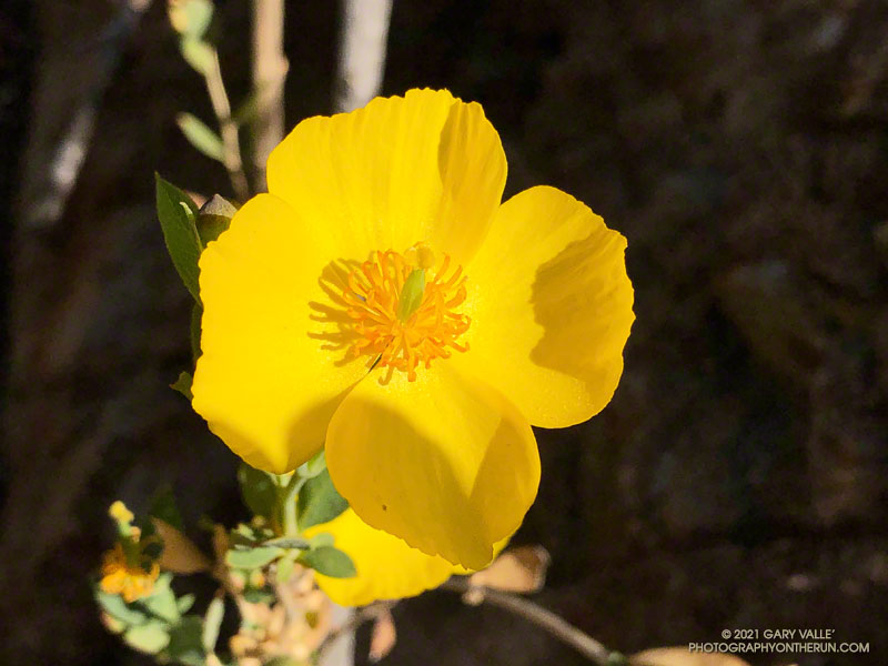 Bush poppy along the Stone Canyon Trail on Mt. Lukens. Despite well below average rainfall, bush poppies have been blooming in profusion this Spring. April 4, 2021.