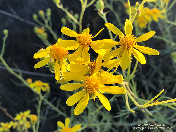 Bush Senecio on Temescal Peak. September 23, 2018.