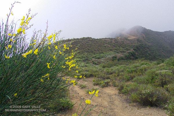 Spanish broom near Calabasas Peak.