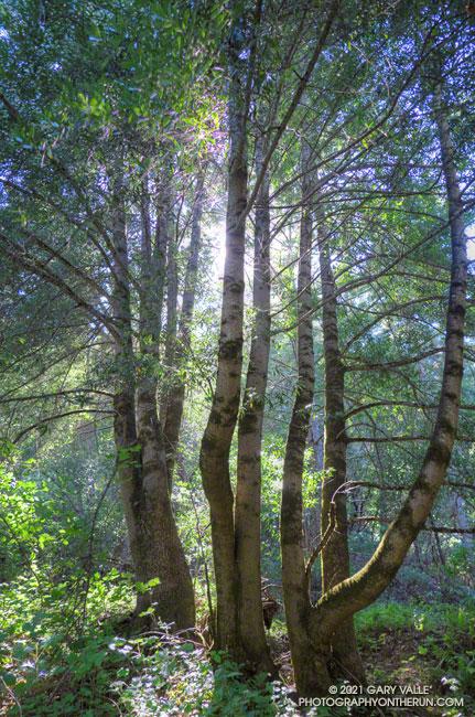 California bay trees in Windy Hill Open Space Preserve near the bottom of the Razorback Ridge Trail.