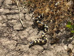 California kingsnake in Upper Las Virgenes Canyon Open Space Preserve, a.k.a. Ahmanson Ranch.
