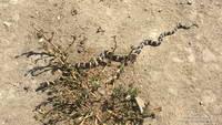California kingsnake in Upper Las Virgenes Canyon Open Space Preserve