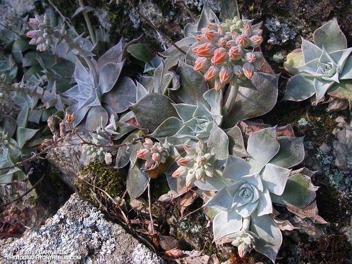 Canyon Liveforever (Dudleya cymosa) along the Rim Trail