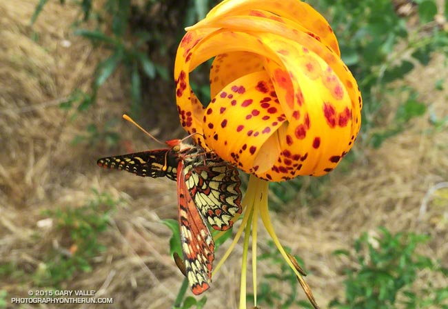 Checkerspot feeding on Humboldt Lily along the Silver Moccasin Trail