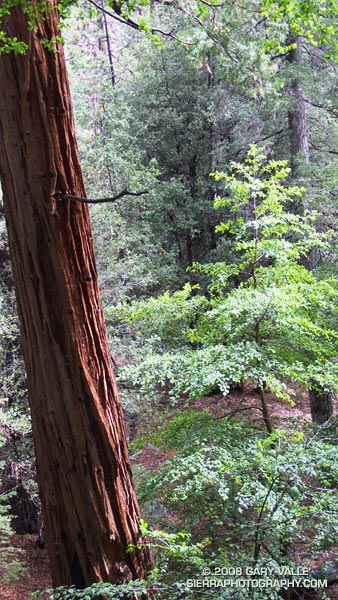 Incense cedar on the Burkhart Trail in Cooper Canyon in the San Gabriel Mountains.
