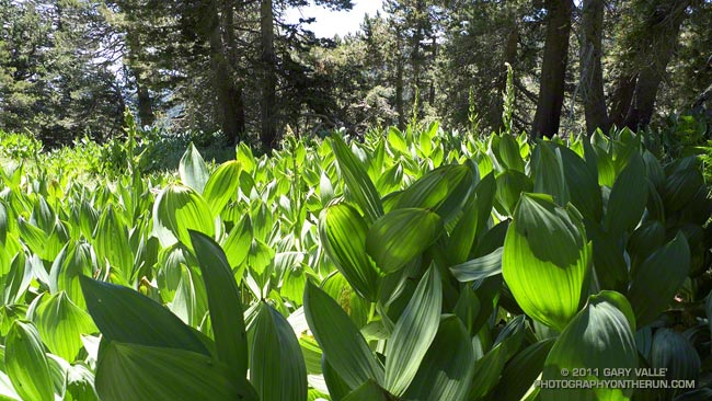 Corn lily along the trail between Wellman Divide and Saddle Junction.