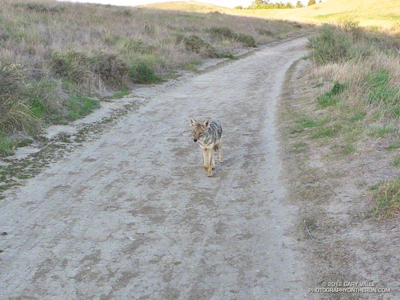 Brash coyote behavior at Ahmanson Ranch