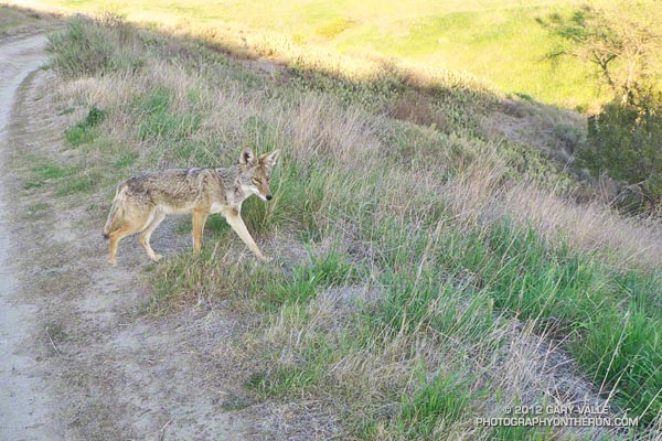 Close encounter with coyote at Ahmanson Ranch.