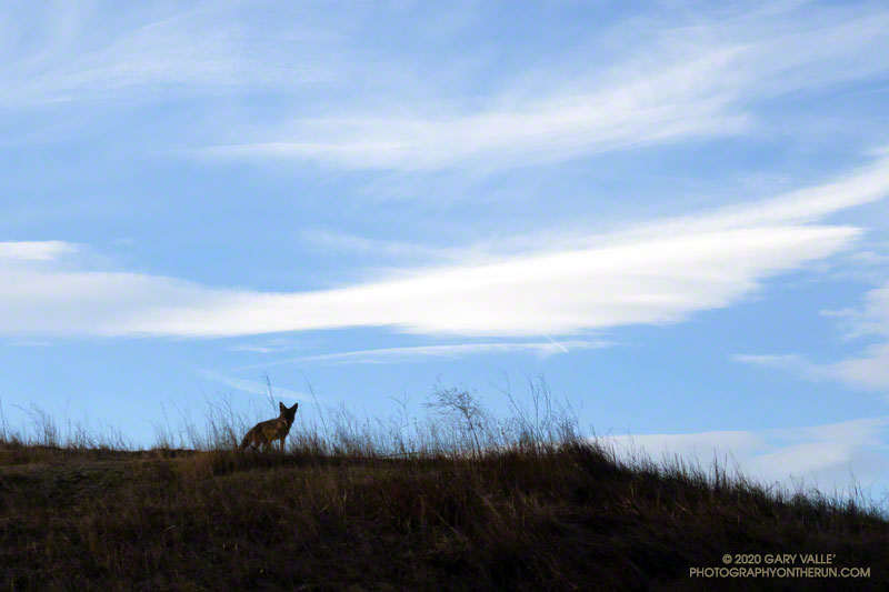 Curious coyote at Upper Las Virgenes Canyon Open Space Preserve (Ahmanson Ranch)