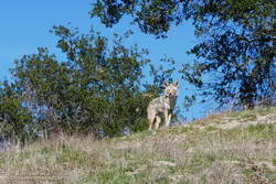 Coyote at Upper Las Virgenes Canyon Open Space Preserve (Ahmanson Ranch)