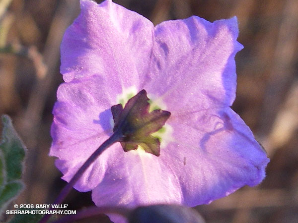 The shadow of a crab spider on the petals of a purple nightshade.