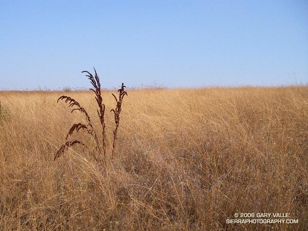 Brown seed stalks of Curly Dock (Rumex crispus)