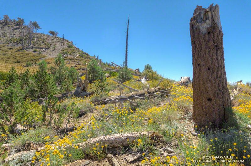 Rubber rabbitbrush (Ericameria nauseosa) along the PCT, near Mt. Hawkins