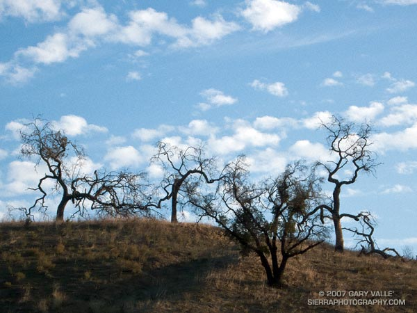 Convoluted oaks silhouetted on a hilltop at Upper Las Virgenes Canyon Open Space Preserve (formerly Ahmanson Ranch).