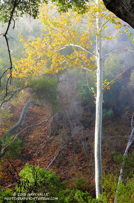 A sycamore in Dark Canyon, along the Backbone Trail, aglow in fog-filtered sunlight.