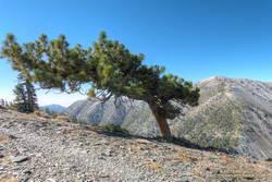 Windswept Jeffrey pine near Dawson Peak