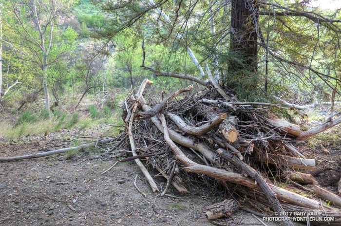 Flood debris against a redwood along Crags Road near the Forest Trail in Malibu Creek State Park