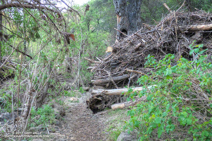 Partially-cleared flood debris piled against a tree on the Crags Road Trail. March 25, 2017.