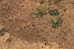 Digger bees in Malibu Creek State Park