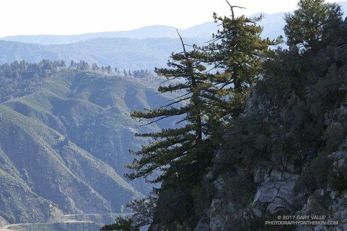 Bigcone Douglas-fir on San Gabriel Peak