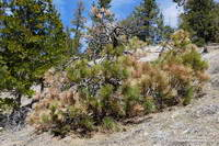 Drought-stressed young pine in Cooper Canyon