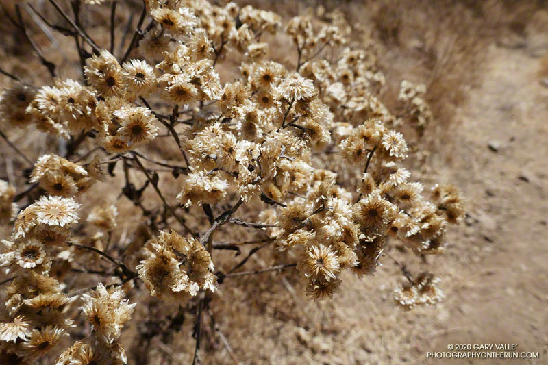 Dried panicle of California Everylasting along the Sage Ranch Loop Trail. August 12, 2020.