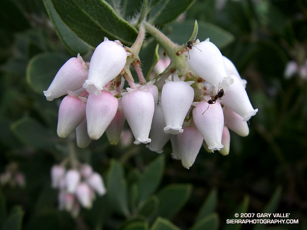 Ants forage among the blossoms of Eastwood manzanita on the Chumash Trail in Rocky Peak Park.